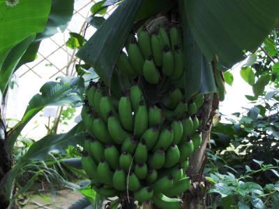 banane verdi,celiachia