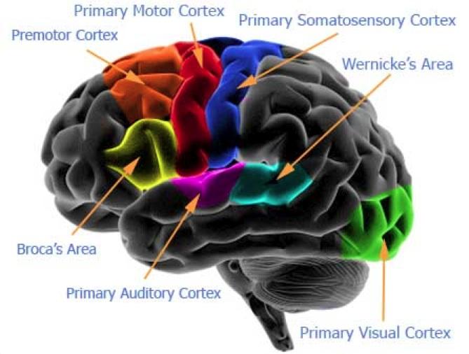 cervello,vitamina B12