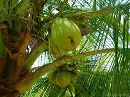 efficacia dellolio di cocco per ingrossamento della prostata
