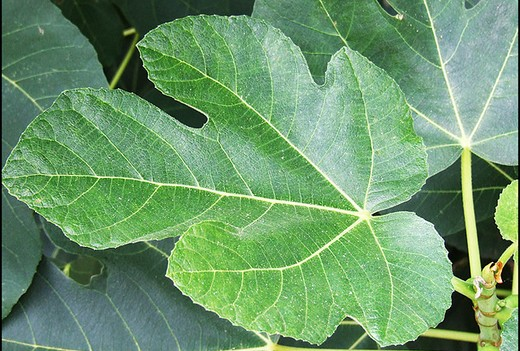 diabete,foglie di fico