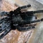 dolore cronico,veleno di ragno