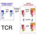 Il ruolo del colesterolo in un nuovo modello di attivazione delle cellule T