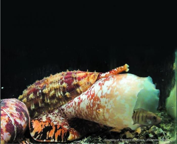 La chiave per la cura del diabete nel veleno di lumaca cono marina