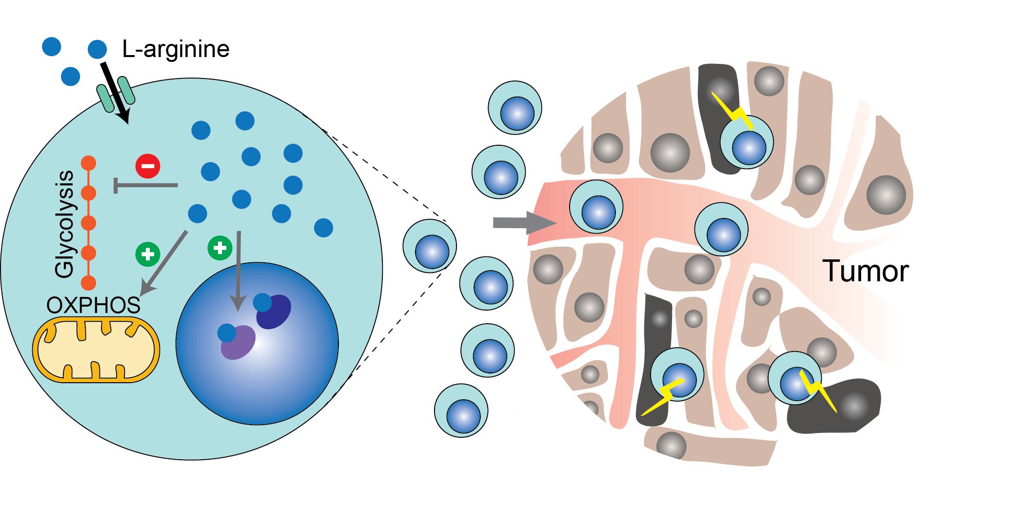 Assunzione di arginina può migliorare la risposta immunitaria contro il cancro