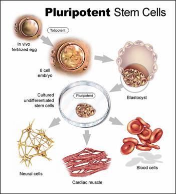 cellule staminali,invecchiamento