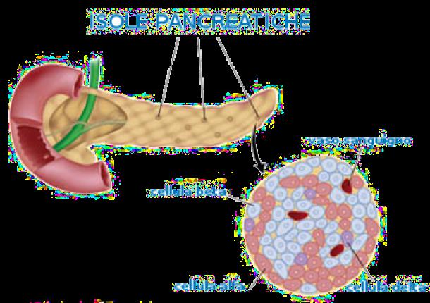 cellule beta